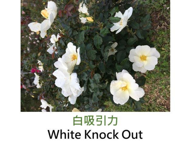 中輪灌木玫瑰,白色,單瓣平開形,柑橘香