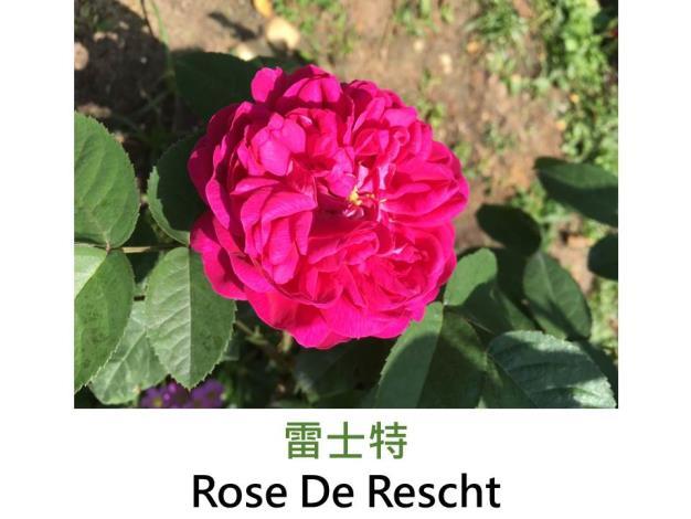 灌木玫瑰,育出:1900前,紫紅色,重瓣杯狀,強香