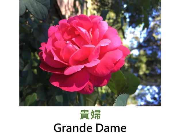 現代雜交茶香玫瑰,育出:2009美國,深粉紅色,重瓣古典花形,強香