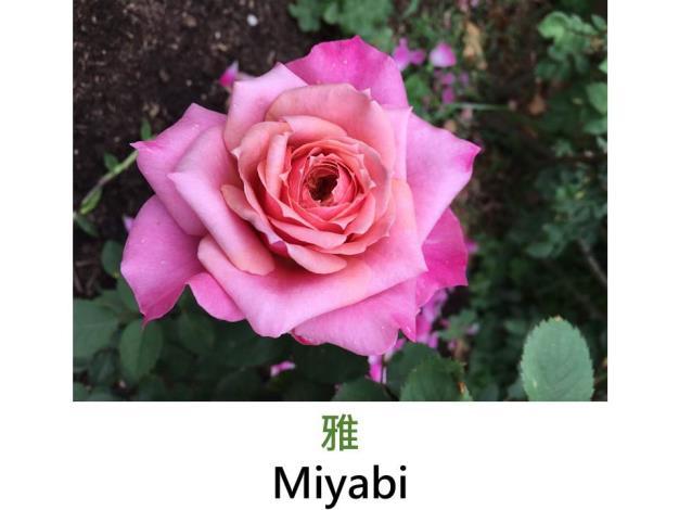灌木玫瑰,育出:2014前,日本,杏色,桃紅色外瓣,淡香