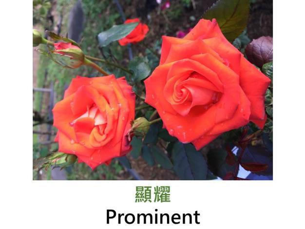 現代大花灌木玫瑰,育出:1971德國,橘紅混色,重瓣碗狀平開,淡香
