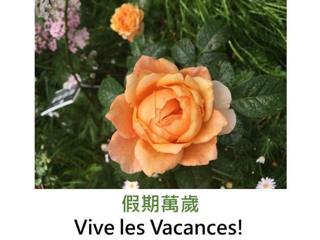 豐花玫瑰,育出:2011法國,橙粉色,杯形,微香