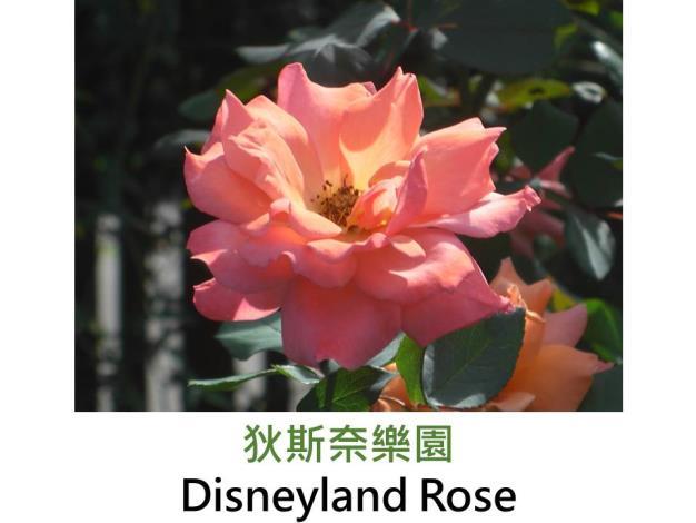 現代豐花矮叢玫瑰,育出:2001美國,橘粉混色,杯狀花