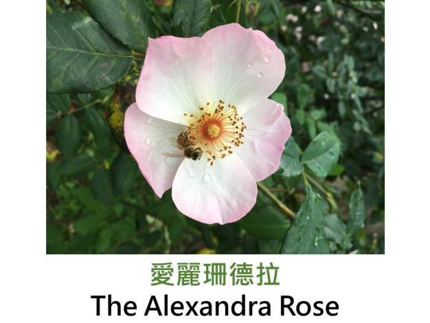 現代英國灌木玫瑰,育出:1992英國,粉黃色,單瓣平開