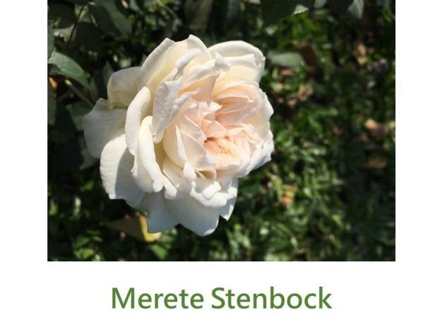 灌木玫瑰.白色.濃香