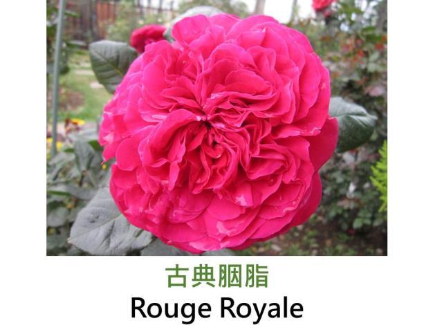 大花雜交茶香玫瑰,育出:2005法國,紅色,重瓣古典平開,強香