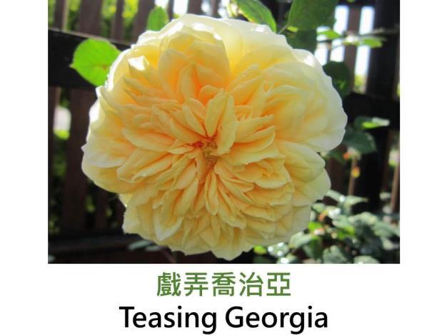 現代英國灌木玫瑰,育出:1988英國,黃色,重瓣簇生花形,強香