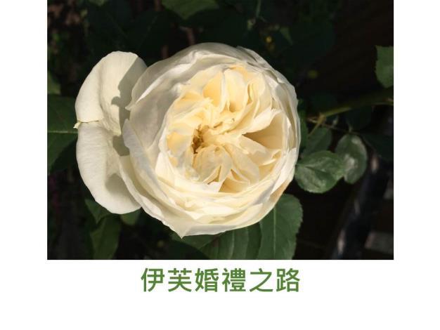 灌木玫瑰,育出:日本,白色,圓杯形,甜香