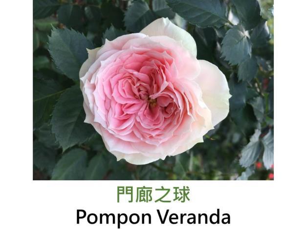 中輪豐花玫瑰,育出:1999德國,淡粉紅漸變綠色,杯狀花形