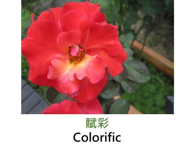 現代豐花矮叢玫瑰,育出:2009美國,蕊心杏黃,由鮭紅向珊瑚紅漸擴,果香