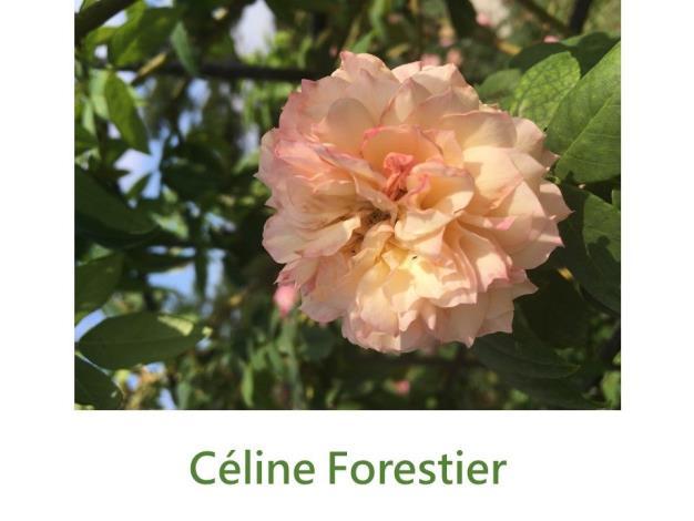 育出:1842法國.淺黃帶粉色.杯狀至平開花型.強香