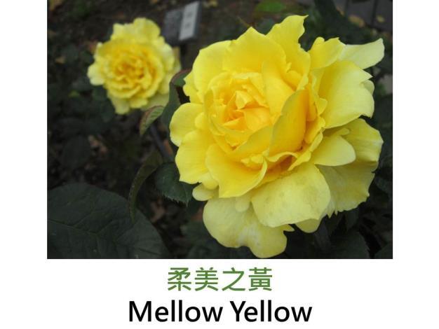 現代大花雜交茶香玫瑰,育出 : 2000美國,金黃色,半劍瓣高心波浪形,淡香