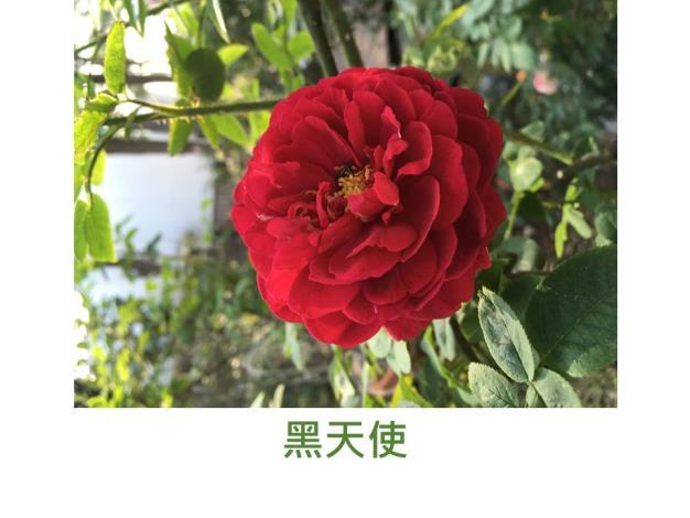現代豐花矮叢玫瑰,育出:不明,紅色,重瓣高心杯狀平開