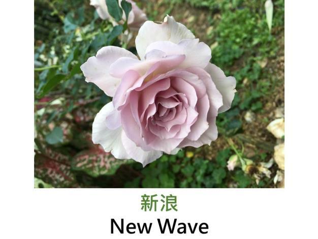 育出:2000日本,淡紫色,波浪瓣平開形,丁香