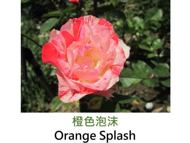 現代豐花矮叢玫瑰,育出 : 1991美國,橘紅及白色條紋,圓瓣杯形,強香