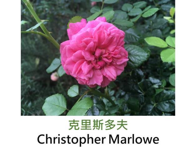 灌木玫瑰.育出:2002英國.橙至橙紅色.中香