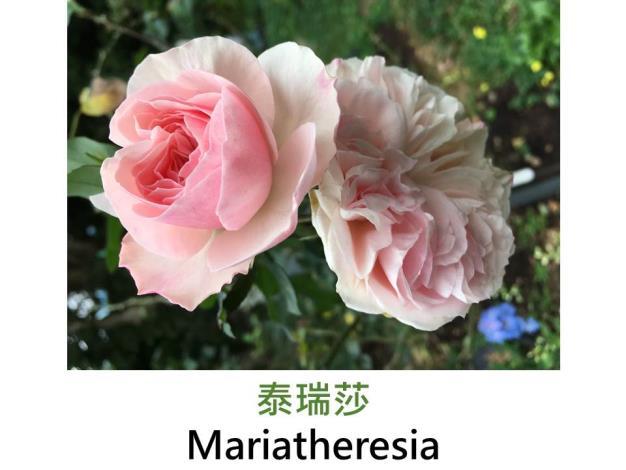 中輪豐花玫瑰,育出:2003德國,粉紅色,重瓣古典杯形,微香