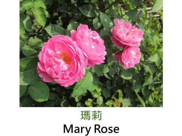 現代英國灌木玫瑰,育出:1983英國,粉紅色,圓瓣杯形,強香