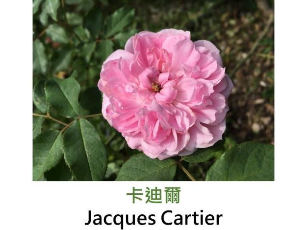 育出:1842法國.淡粉色.蓮座型.濃香