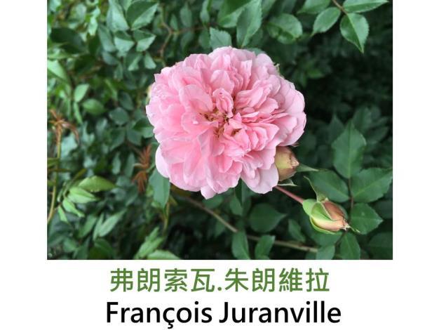 蔓性玫瑰,育出:1906法國,桃粉色黃底,四分平開形,果香