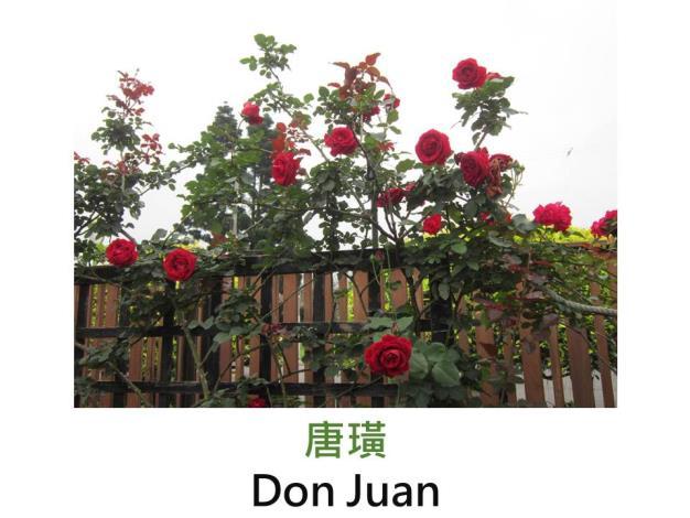 蔓性大輪玫瑰,育出:1958義大利,黑紅色,圓瓣高心形,強香