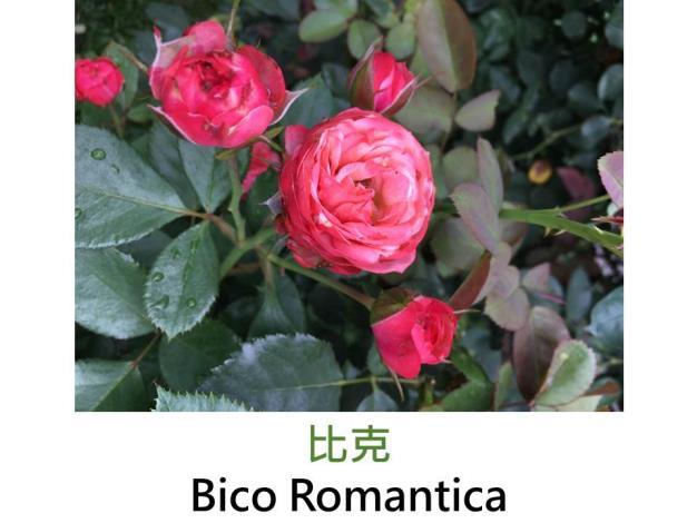 迷你玫瑰,育出:2008法國,橙粉色,外辦洋紅
