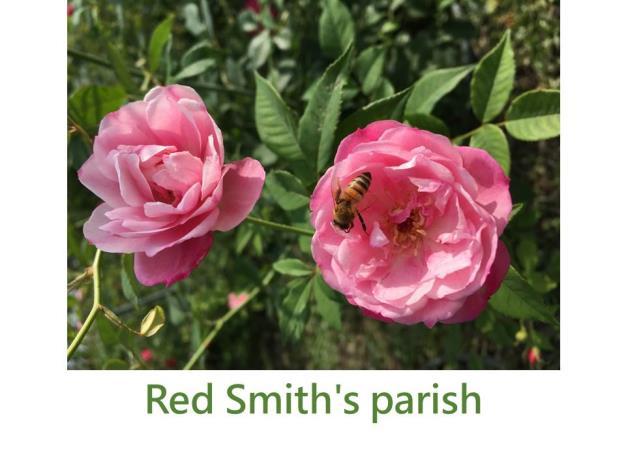 育出:1997美國,紅色條紋變化,Smith's parish的變種