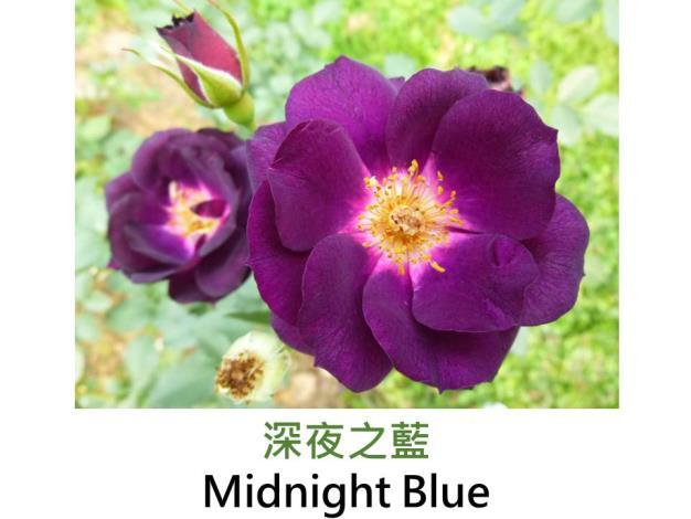 育出:2004美國,深紫色蕊心鮮黃,圓瓣平開形,強香