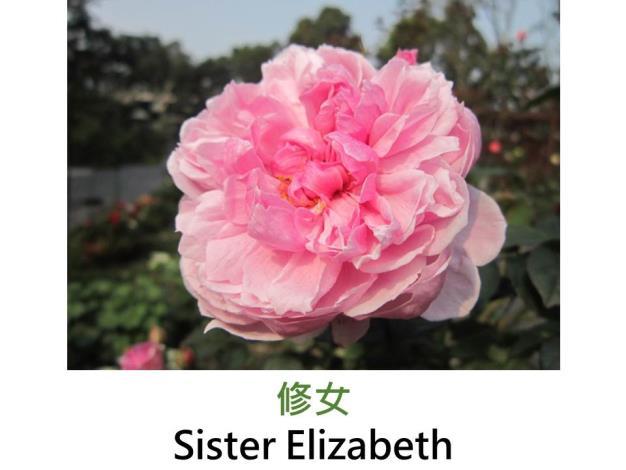 多花矮叢玫瑰,育出:2006英國,粉紅色,重瓣古典杯形,中強香
