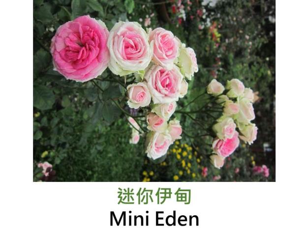 現代迷你豐花玫瑰,育出:2001法國,粉紅色,圓瓣杯形,微香