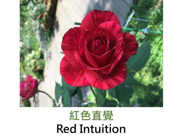 中大輪,育出:1999法國,鮮紅絞紋,高心形,微香