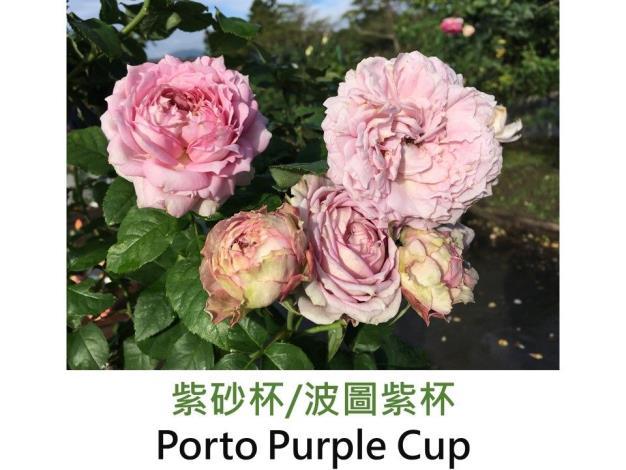 育出:2013前.日本.紫色.外瓣帶綠.瓣尖尖.杯型.中香