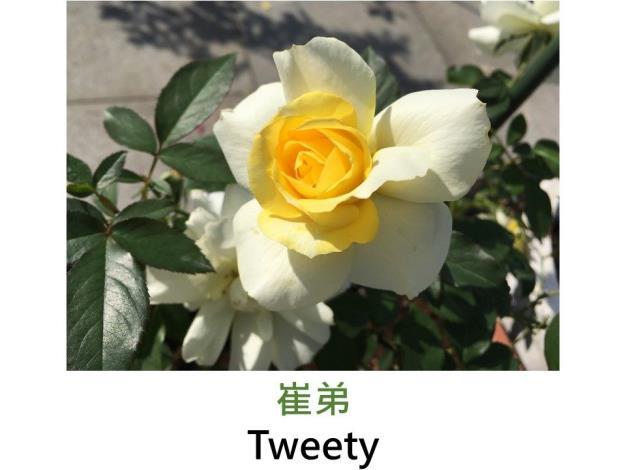現代灌木玫瑰,育出:2003美國,乳黃色,圓瓣波浪平開形,微香