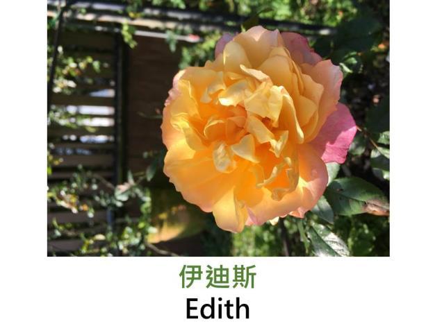 灌木玫瑰,育出:2008前,英國,黃杏色中心,深粉色外瓣,杯狀花形,果香
