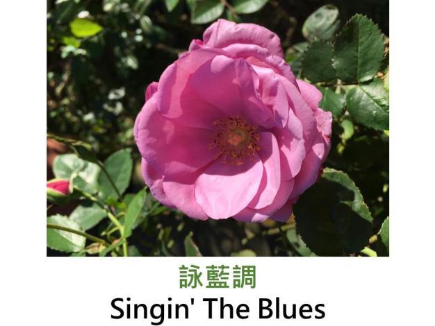 現代豐花矮叢玫瑰,育出:2008法國,薰衣草紫,重瓣杯狀平開,柑橘強香