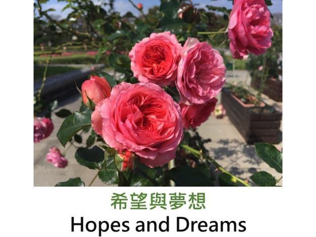 希望與夢想.JPG豐花玫瑰.育出:2008英國.鮭粉色.中香