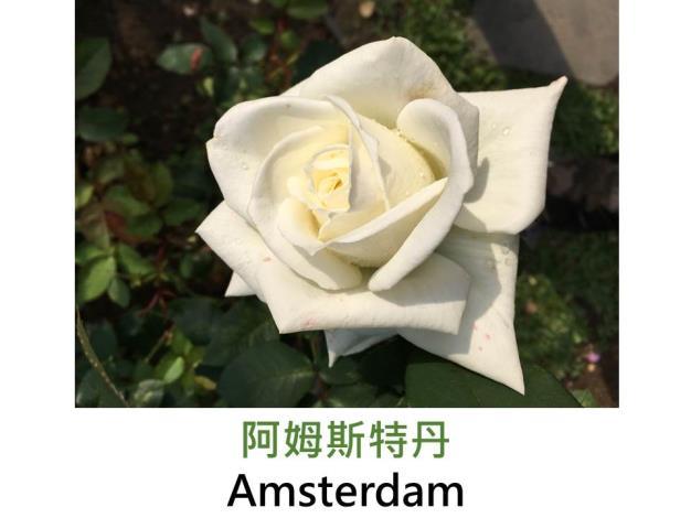 矮叢灌木玫瑰,白色初開外瓣綠色,劍瓣高心形,微香