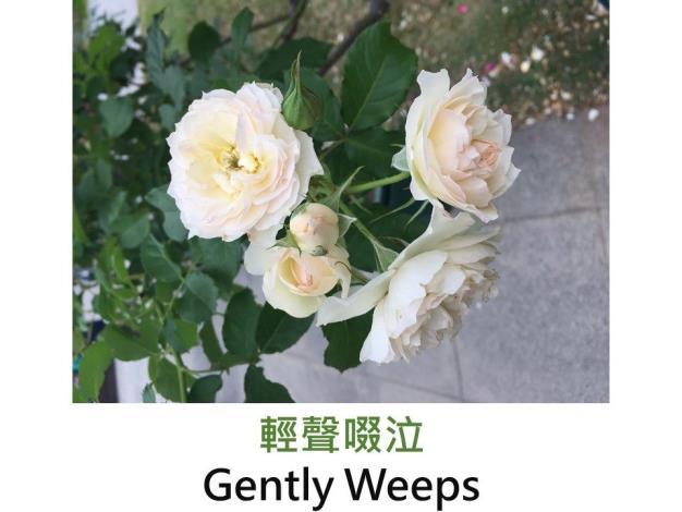中輪灌木.育出:2011日本.白色.鈕扣心.平開型.微香