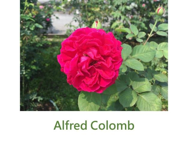 育出:1865法國.紅色.球狀高心型.濃香