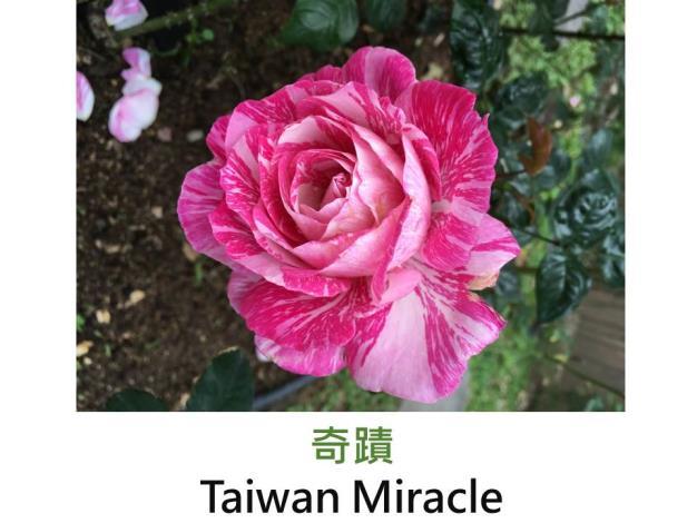現代大花雜交茶香玫瑰,育出:台灣,桃紅白色絞紋,高心杯狀花形