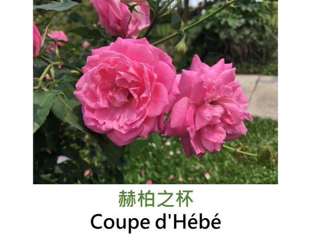育出:1840法國.粉紅色.杯形.濃香