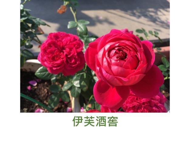 育出:日本.深紫紅色至深胭脂紅色.圓瓣古典杯型.濃香