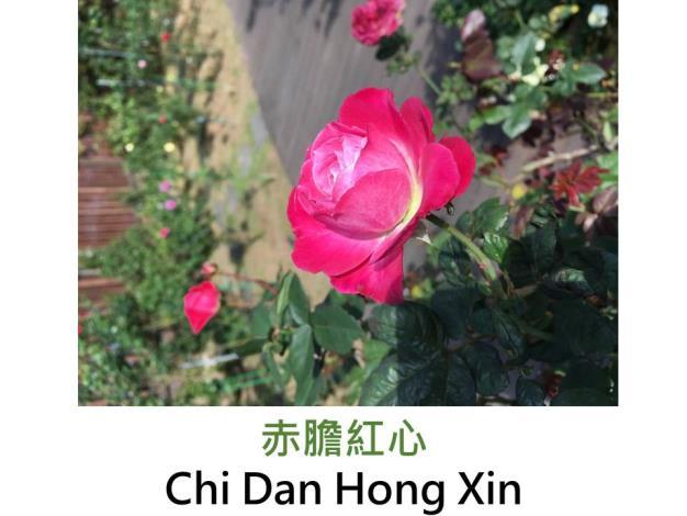 橫張性古典玫瑰,育出:北宋時期中國,胭脂粉紅,圓瓣杯形,花開略垂,中香