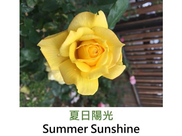 現代大花雜交茶香玫瑰,育出:1978德國,金黃色,半劍瓣杯形,淡香
