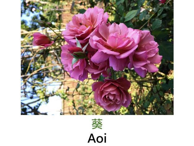 現代豐花矮叢玫瑰,育出:2008日本,粉紫色,重瓣平開花形,微香