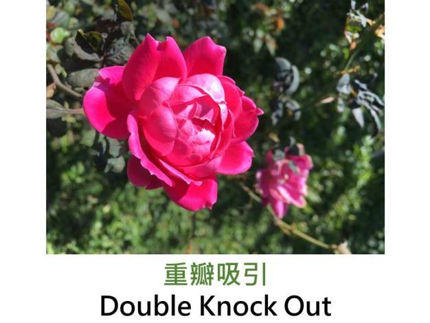 現代灌木玫瑰,育出:2004美國,紅色,半重瓣小叢平開,淡香