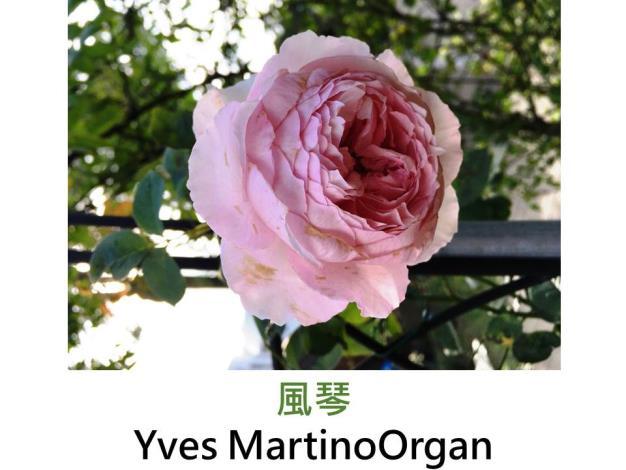 灌木玫瑰,育出:2009日本,粉紅色,外瓣較淺,圓杯狀花形,強香