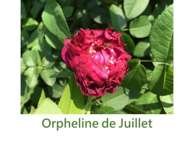 育出:1836前.紫紅色.四分簇生型.強香