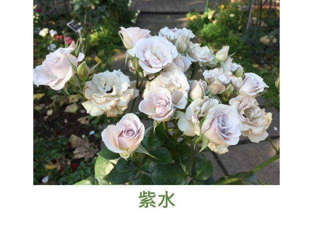 迷你玫瑰.淡紫色