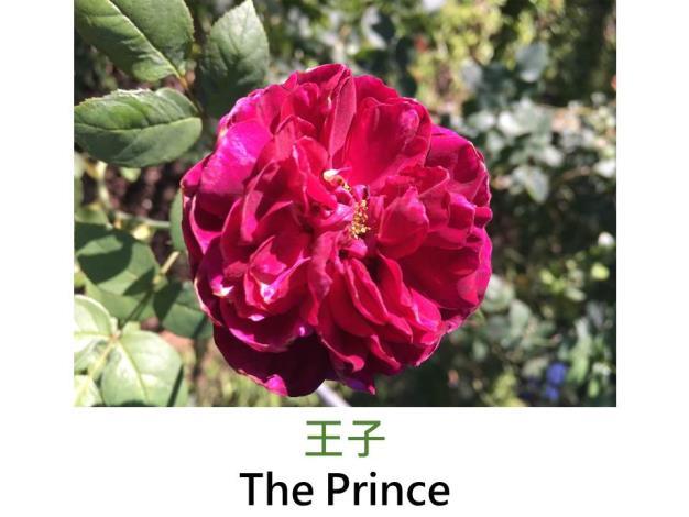現代英國灌木玫瑰,育出 : 1990英國,深紅近紫黑,圓瓣簇生花形,古典玫瑰香